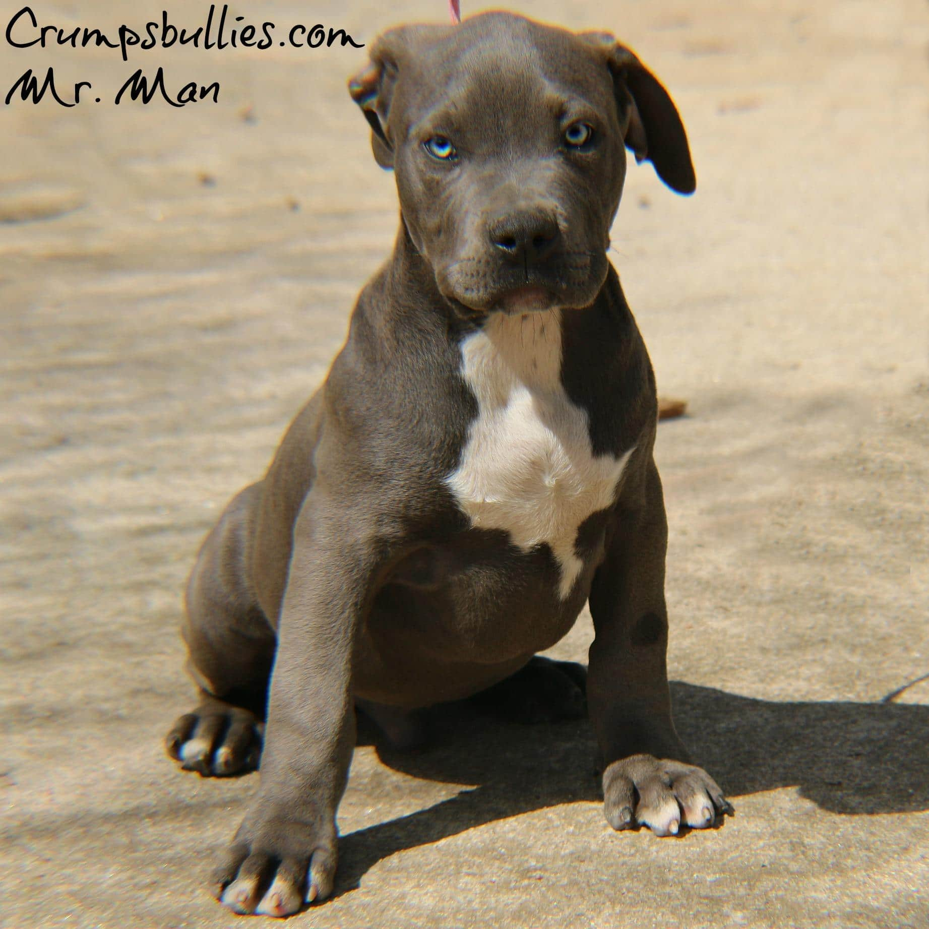 american bully puppies for sale - HD 1843×1843