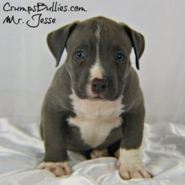 blue bully pitbull