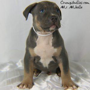 blue tri pitbull