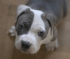 American Pitbull Terrier American Bully Puppy