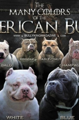 Puppies For Sale | Blue Nose - American Bully | Pitbull Puppies