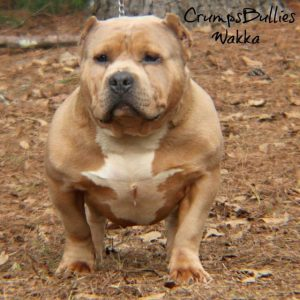 razors edge pitbull
