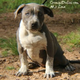 bully pitbull for sale
