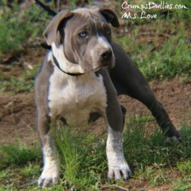 blue nose pitbull puppies