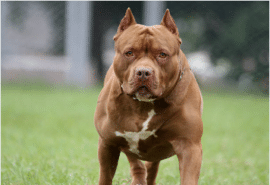 red american bully xl
