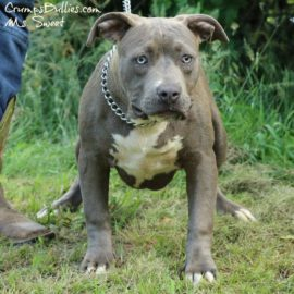 xl bully puppies for sale