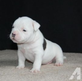 white american bully xl