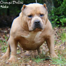 American Pitbull Terrier or American Bully
