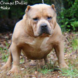 American Pitbull Terrier or American Bully