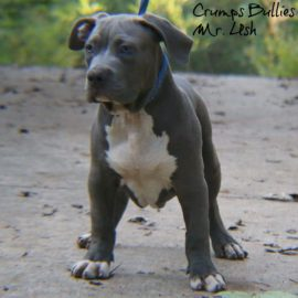 bully pitbull pitbull puppies