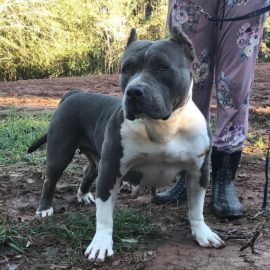 grey american pitbull xl