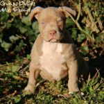bully puppies