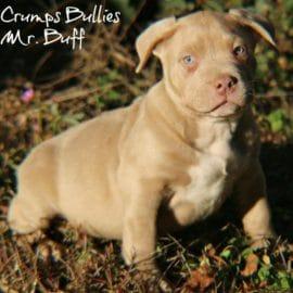 pitbulls for sale xl pitbull