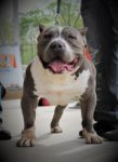american Bully pitbulls for sale