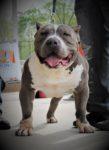 american Bully pitbulls for sale