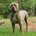 tri color pitbull pitbull kennels