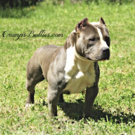 gray american pitbull xl