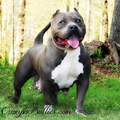 blue bully
