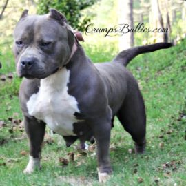 blue american pitbull xl