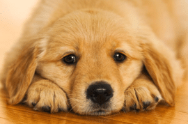 pitbulls for sale pitbull puppies