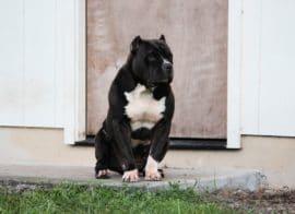 black american pitbull xl