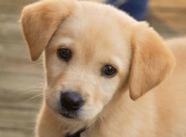 American Staffordshire Terrier American Pitbull Terrier