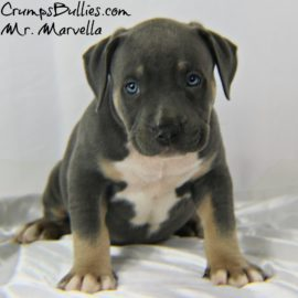 bully pit pitbull puppies for sale