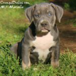 tri color pitbull