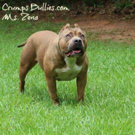 XL Red Fawn Bully Pitbull
