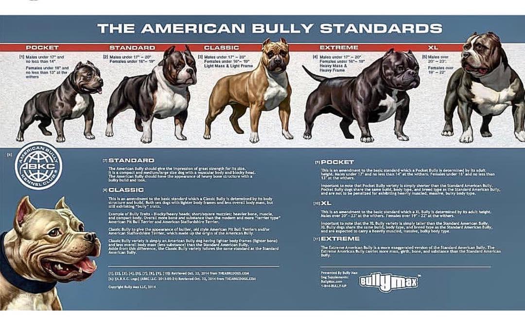 Bully pitbull