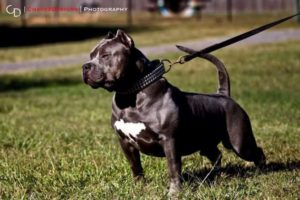 blue xl pitbull