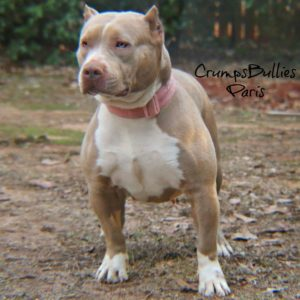 champagne american bully xl for sale