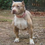 XL American pit bull puppies