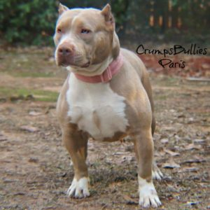XL XXL Pitbull Puppies for Sale | Amercian Bully XL Pit Puppies