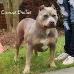 XL XXL Pitbull Puppies for Sale | XL Pit Bulls top dog bloodline
