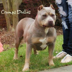 lilac tri bully pitbull