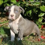 Blue Pit Bull Puppies For Sale
