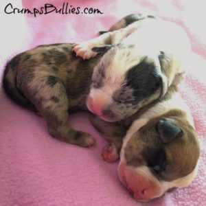 merle pitbull puppies for sale