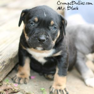 Tips in Purchasing A Tri Color Pitbull For Sale - World