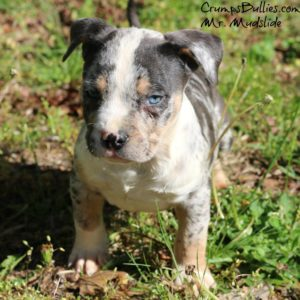 south africa - World Renowned American Bully Pit Bull