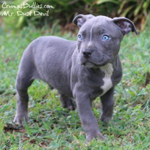 pitbull puppies for sale | American bully xl