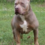 pitbull puppies xl xxl
