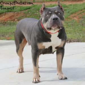 blue tri pitbull puppies for sale