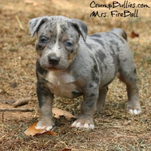 merle american bully xl for sale