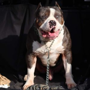 xl Merle Bully for sale