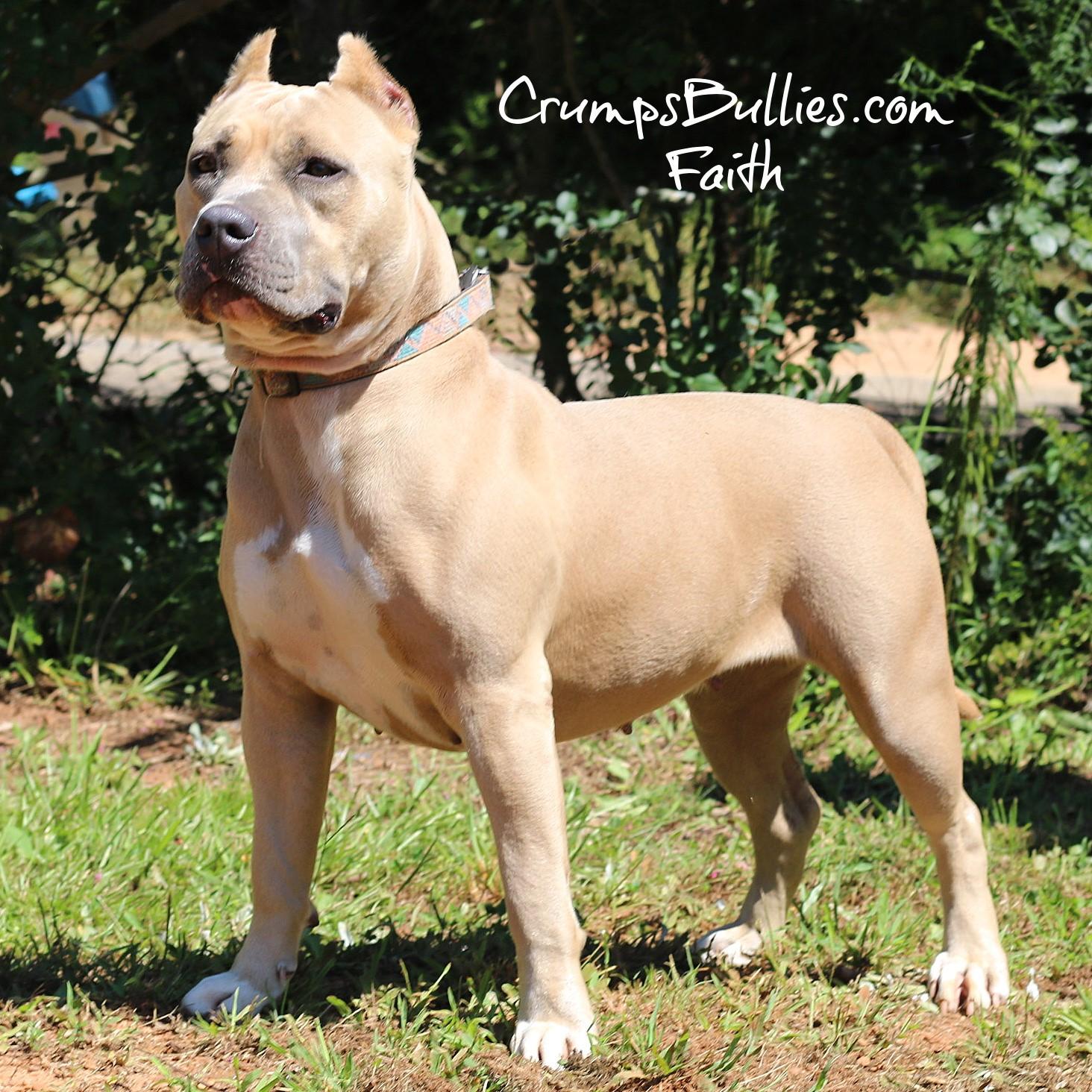 fawn pitbull