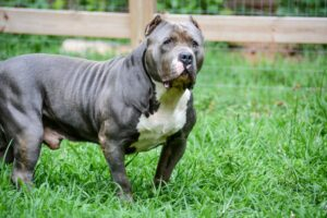 XL Blue nose pitbull